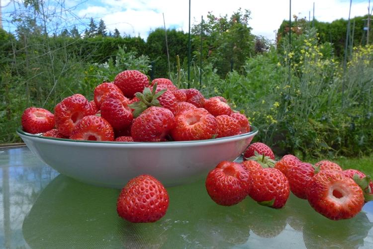 freshly harvested strawberries from my backyard garden