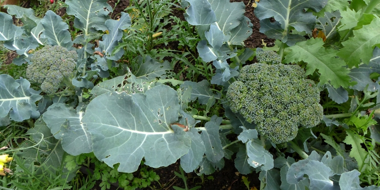 broccoli plants growing in backyard vegetable garden