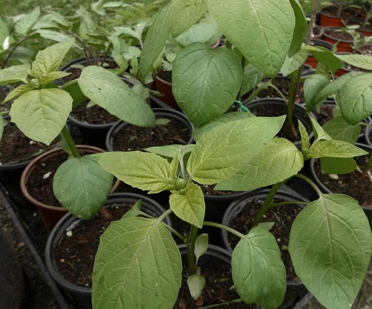 tomato seedlings ready to transplant into vegetable garden