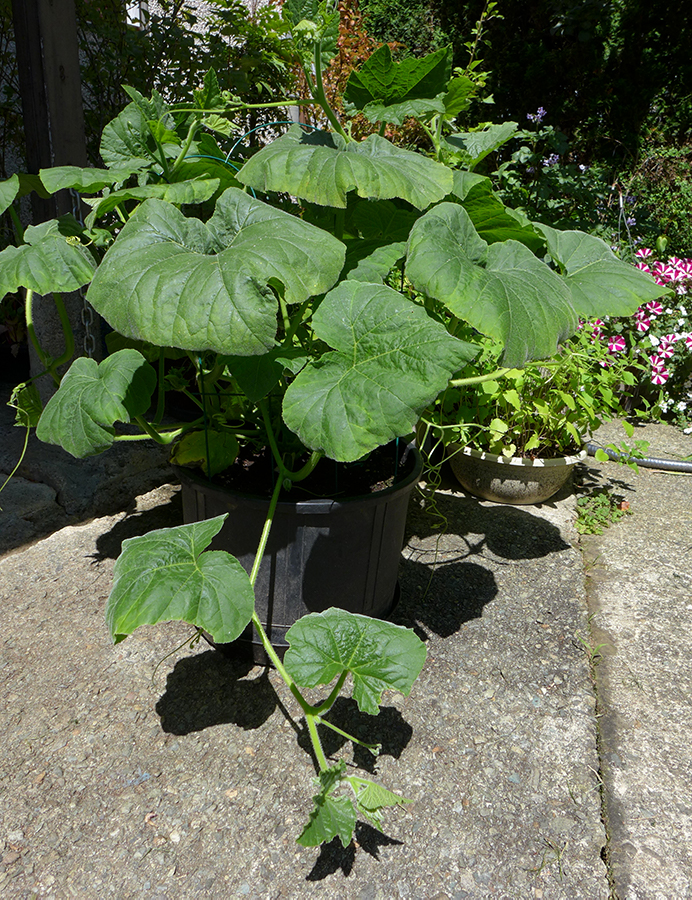 squash plant growing in a flower pot