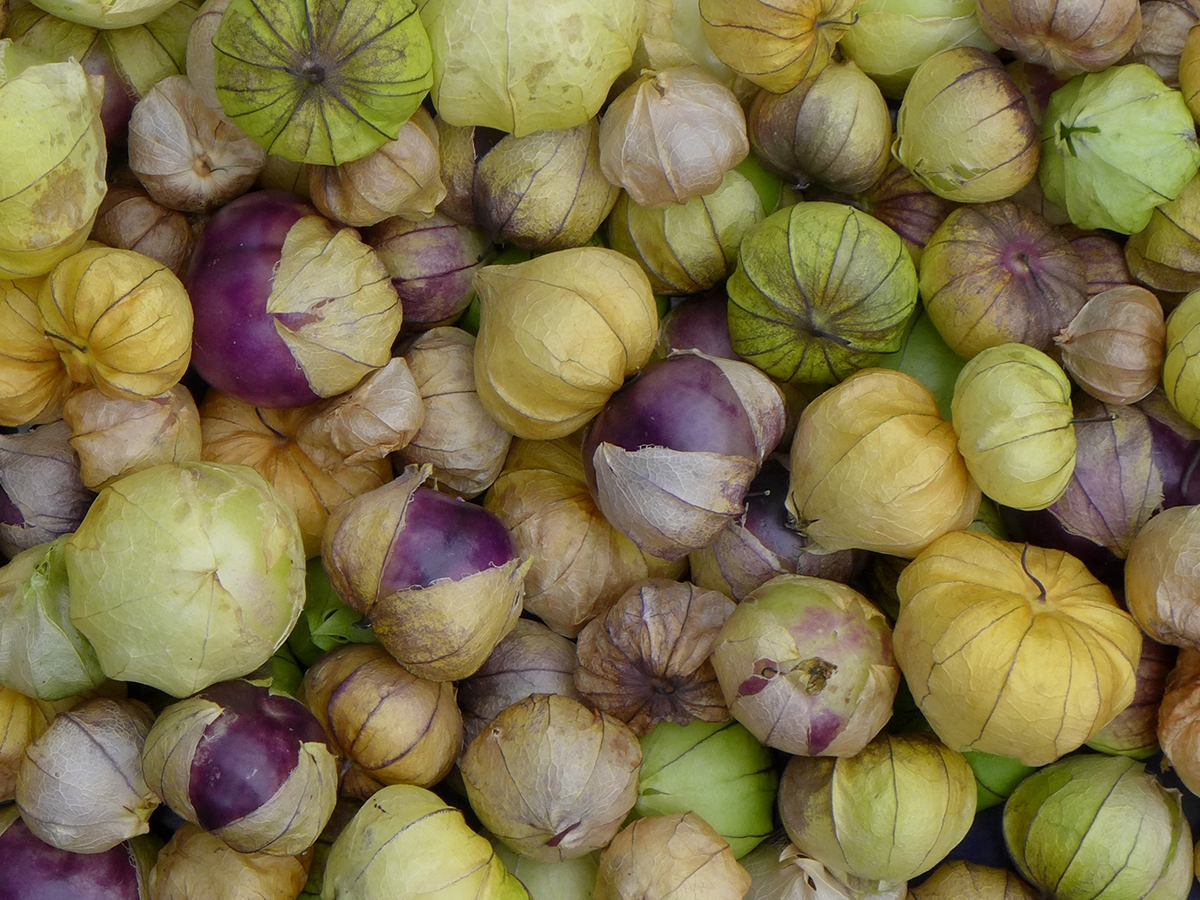 tray of freshly harvested purple, green and yellow tomatillos from vegetable garden