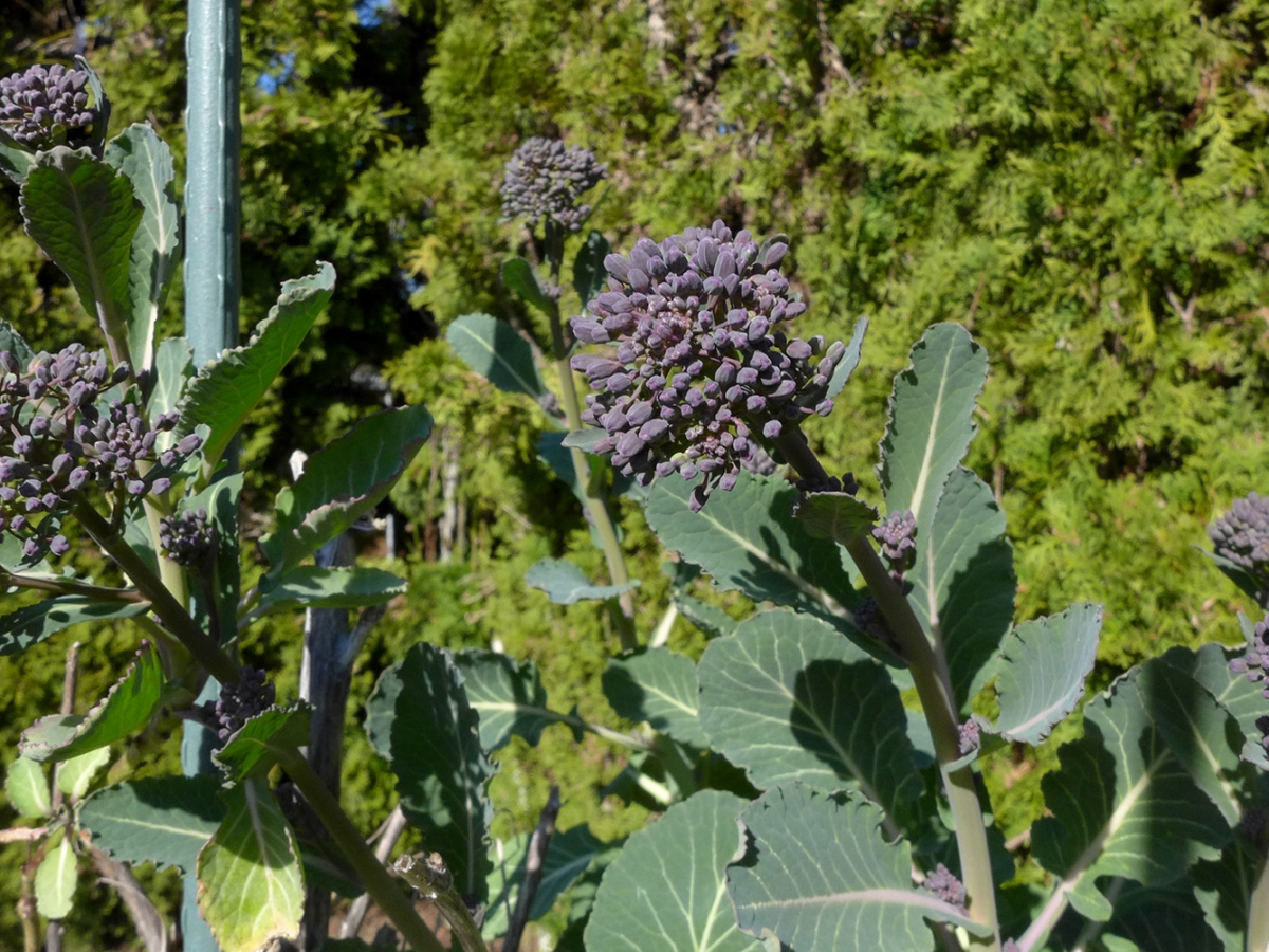 purple winter sprouting broccoli buds in vegetable garden
