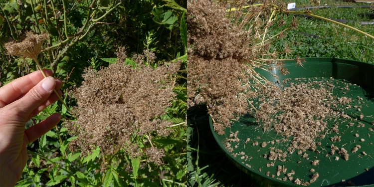 collecting and saving carrot seed vegetables