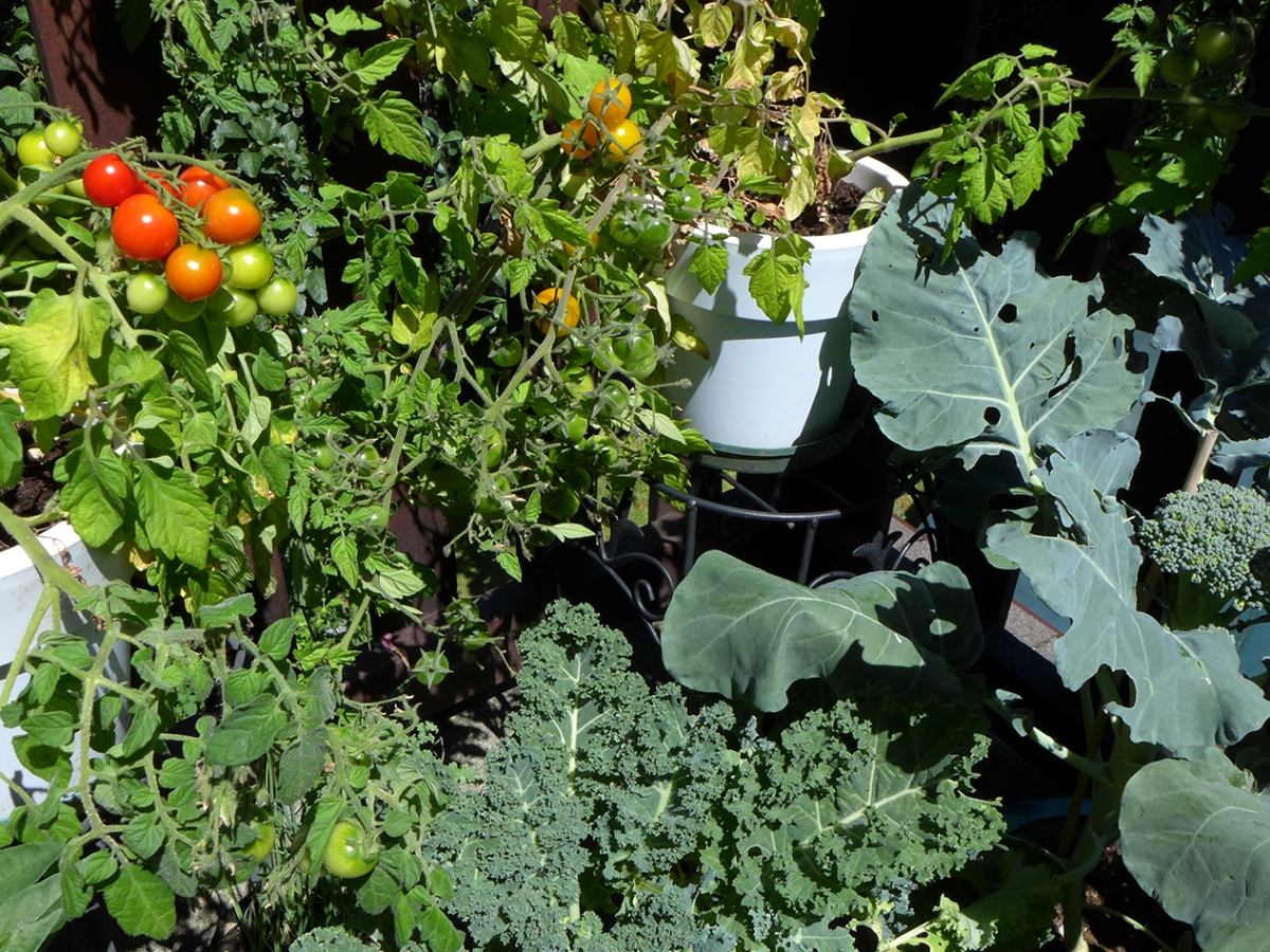 Kale, tomatoes and broccoli growing in containers in a balcony vegetable garden.