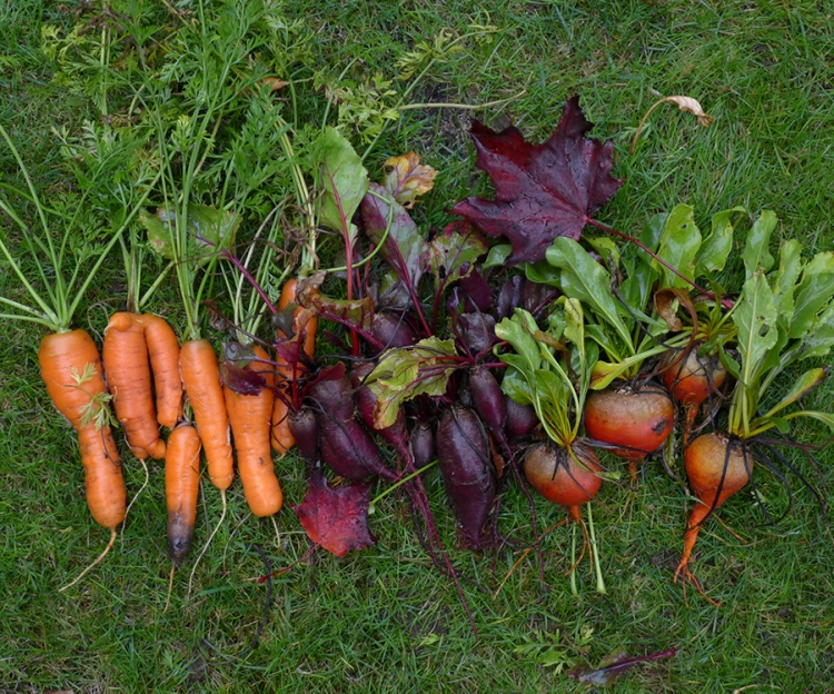 autumn or fall root vegetable harvest: carrots and beerts
