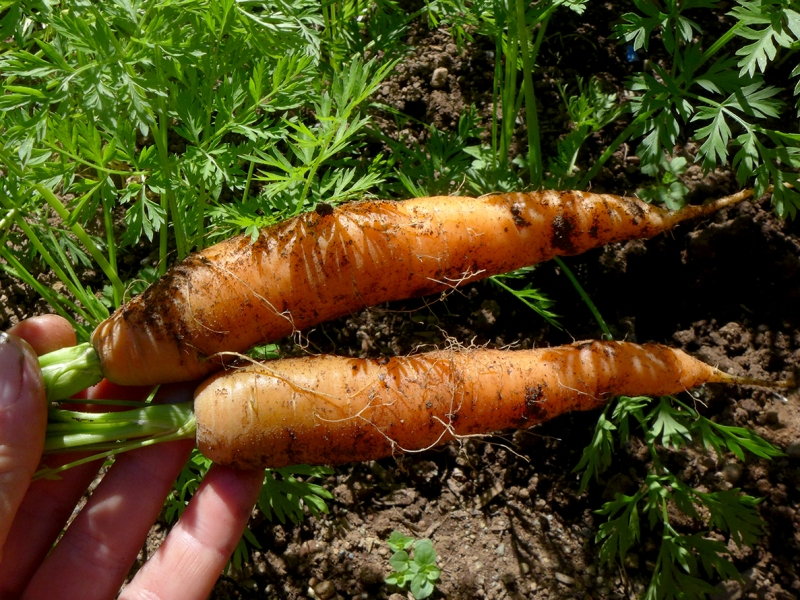 seeding and growing and harvesting carrots in a backyard vegetable garden or in pots or other containers