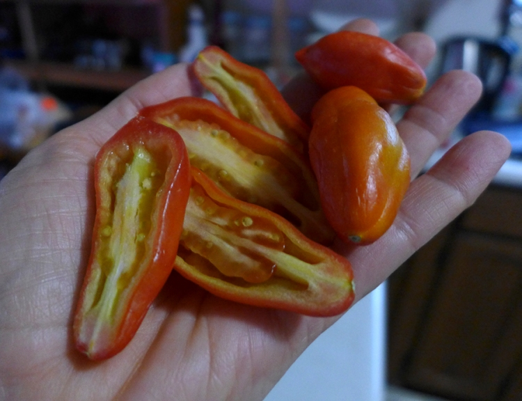 fresh home-grown Roma tomatoes ripened indoors for winter